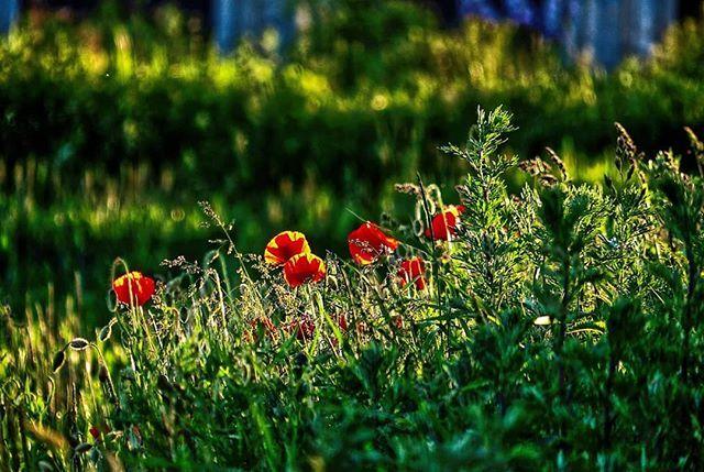 Nicht Nur Die Pflanzen Geniessen Die Sonne Mohn Mohnblume Mohnblumenfeld Klatschmohn Blume Flower Poppy Poppyflower Poppyfields F Instagram