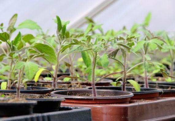 Im Gemüsegarten gibt es mit Aussaat, Anzucht von Gemüse, Pflanzung und Ernte das ganze Jahr über etwas zu tun. Bei allem Raum für Spontanität und kreative Ideen geht es aber nicht ganz ohne Planung. Alle nötigen Infos findet Ihr im passenden OBI Ratgeber. Schaut doch mal vorbei.