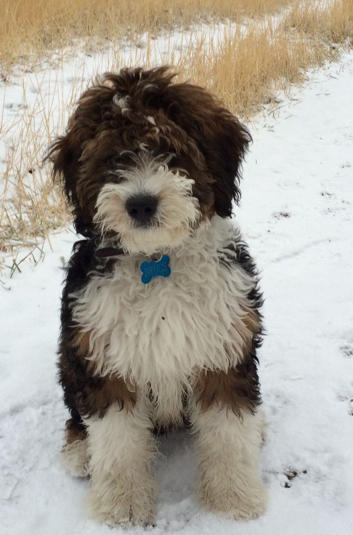 Sable Bernedoodle Bernedoodles Bernedoodle Puppy Dogs