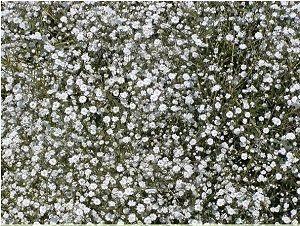 ŠATER-LATNATÝ-Nevěstin-závoj-Gypsophila-paniculata