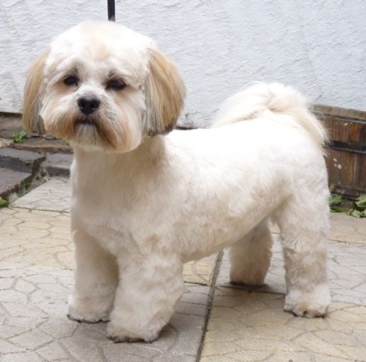 lhasa apso grooming cuts - Google Search