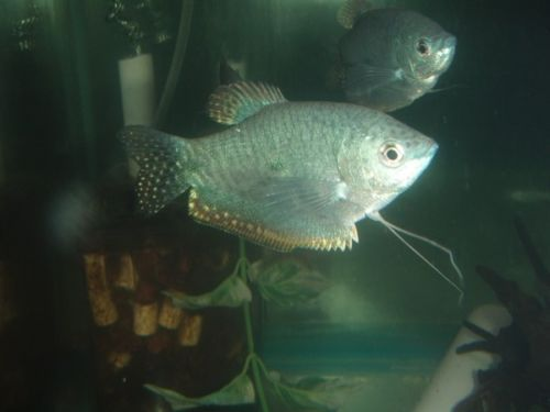 Platinum Gourami Choose Non Aggressive Similar Sized Tankmates Dwarf Cichlids Are Suitable As Are Charcins And Other Labyrinth Fish Blue Gouramis Also