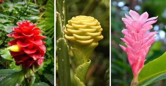 Types Of Ginger Root And Ornamental Ginger Plants With Pictures Ginger Plant Ginger Flower Ginger Plant Flower