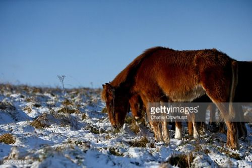 02-26 WORTHING, UNITED KINGDOM - JANUARY 13: Wild ponies graze... #worthingaireborough: 02-26 WORTHING, UNITED… #worthingaireborough