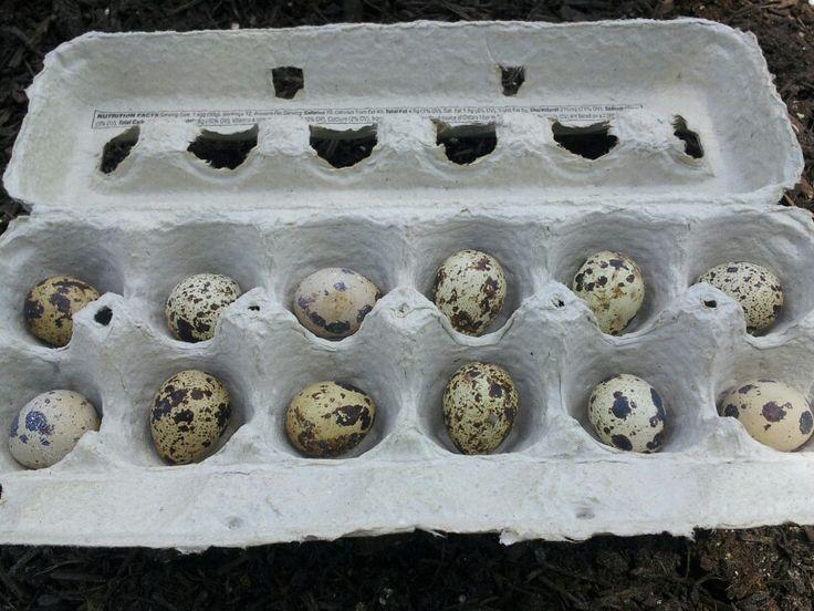 Quail eggs For Sale.