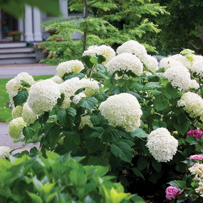 'Incrediball' hydrangea    White flower clusters so enormous (a foot wide!), they're almost comical. And like Gaga, held up by very sturdy stems. Sunset climate zones A3; 1-21