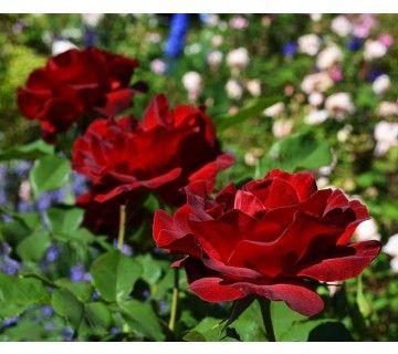 Dame de Coeur is een forsgroeiende roos en een van de gezondste grootbloemige rozenstruiken. De prachtige rode bloemen zijn een waar genot van uw tuin.