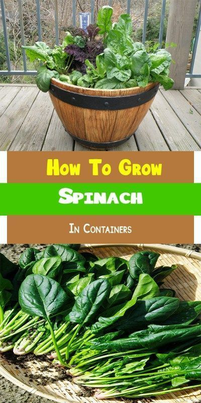 How To Grow Spinach In Containers #gardeningorganic