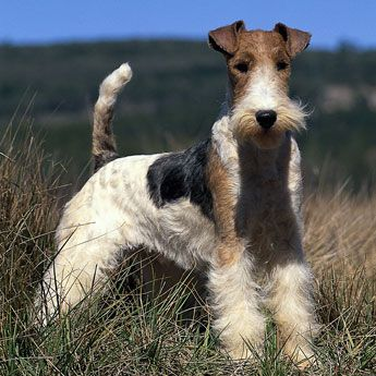The Wirehaired Fox Terrier is an active breed, loaded with pep and personality