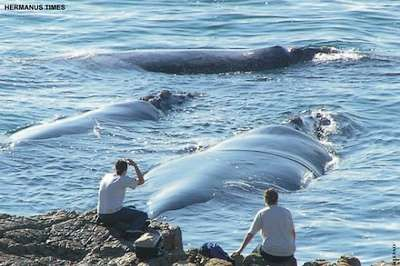 Whale Watching in Hermanus, Western Cape, South Africa. Hermanus is known as the land based whale capital of the world! Southern Right Whales can be watched from the beach or the cliff pathways between June and November.
