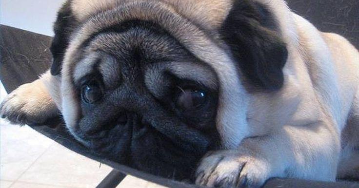 """Lambida de lábios em cães. Os cães lambem seus lábios quando estão salivando ou quando acabaram de comer uma refeição molhada. E quando não há alimentos envolvidos? De repente, eles começam a lamber os lábios continuamente. Eles geralmente têm suas orelhas abaixadas e às vezes suas caudas também. De acordo com o livro """"Dog Owner's Home Veterinary Handbook"""" (Debra M. ..."""