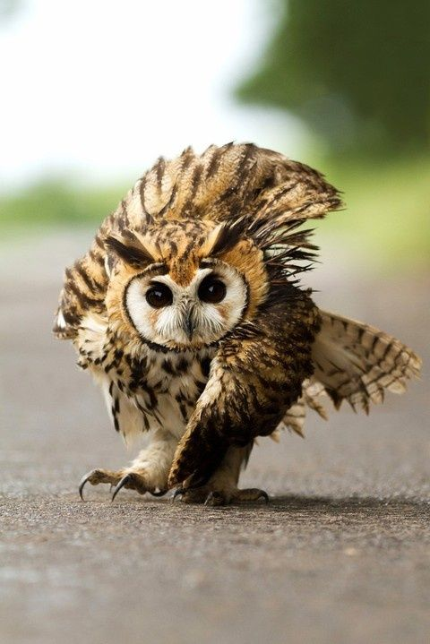 Stripe owl from Central America.. Poor bird has a broken wing and consquently is walking awkwardly, makiing him walk with a swagger.