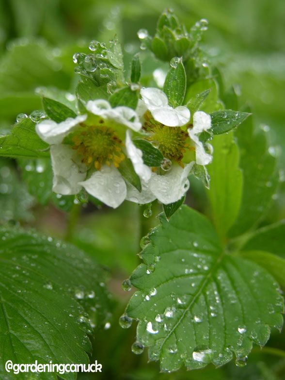 Strawberry blossoms in the rain.