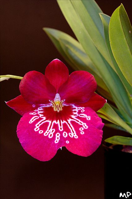 Orchid: Miltoniopsis hybrid; by M@ximeP, via Flickr