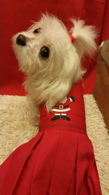 I'm is ready for Santa Paws
