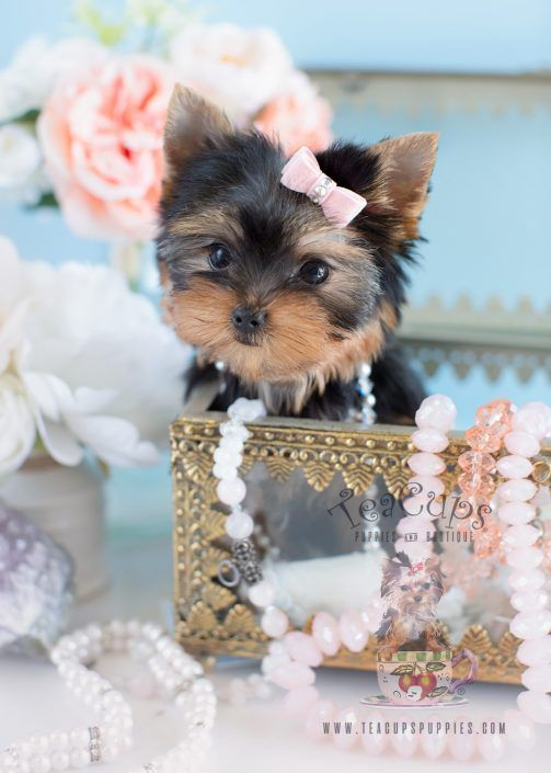 Gorgeous Teacup Yorkie puppy for sale! www.TeaCupsPuppies.com