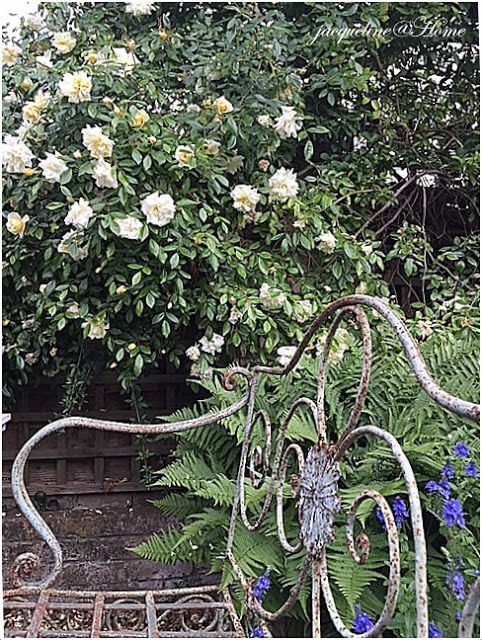 home: A ROSE IS A ROSE IS A ROSE ………. OR A CLEMATIS !!!! ……….