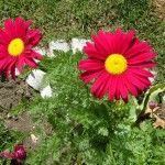 Gerber daisies for mads