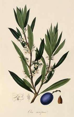 "Olive. ""A Curious Herbal Antique Botanical Illustration"" By Elizabeth Blackwell, published in 1737 in London by Samuel Harding. Engraved on folio copper plates."