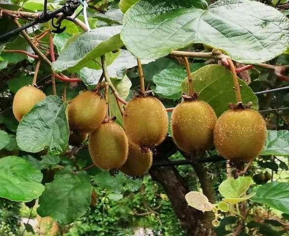 Aprende A Plantar Un árbol De Kiwi Fácilmente Planta De Kiwi Cultivar Kiwi Plantar