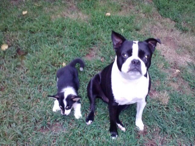 corgi boston terrier our boston terrier with his new brother a cardigan corgi 3908