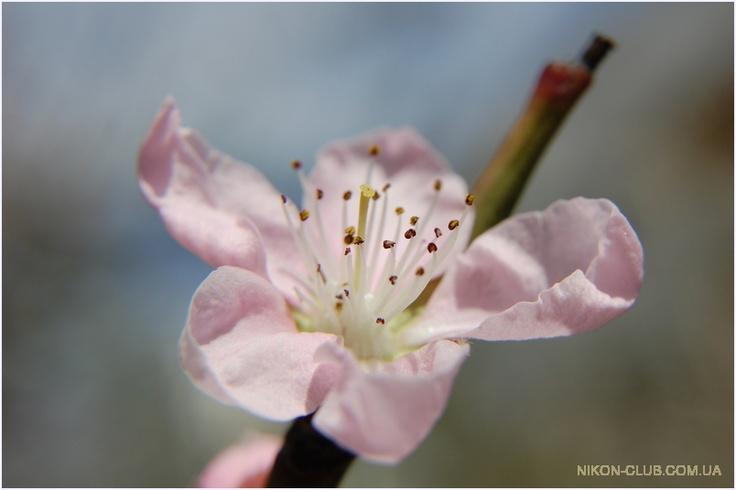 фото: Цветение персика, [3008x2000]