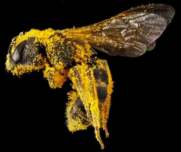 US Geological Survey's fascinating macro photos of bees