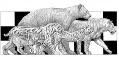 """Fig. 1-12. Drawings of extinct Pleistocene large predators. """"The Carnivore guild of Rancho La Brea.  From left to right. The dire wolf (Canis dirus), the sabre-toothed cat (Smilodon fatalis), the short-faced bear (Arctodus simus), the cheetah-like cat (Miracinonyx sp.), and the American lion (Panthera leo atrox). (modified from Turner and Anton, 1997)."""""""