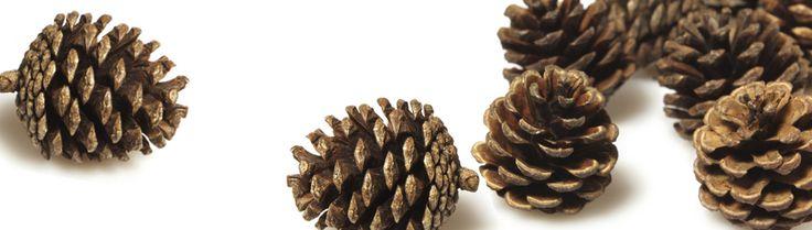 Le pin maritime, un résineux aux multiples utilisations
