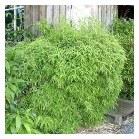 Bambou - Fargesia Murielae Simba