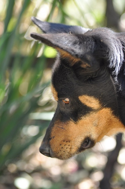 Australian Kelpie Dog   ...........click here to find out more     http://googydog.com
