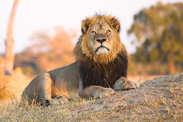 Zimbabwe court drops charges against the local hunter who led dentist Walter Palmer to the famous lion.