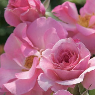 Jackson Perkins roses: Rose Gardens, Kimberlina Rose, Floribunda Rose, Lights Pink, 2009 Floribunda, Kimberlina Floribunda, Rose Kimberlina, Beautiful Rose, Vigor Floribunda