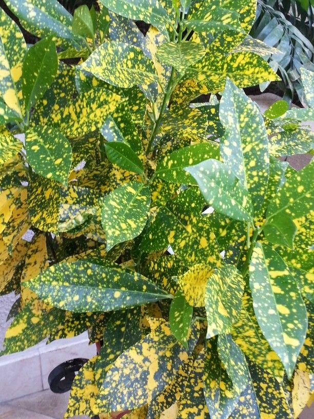 Codieaum croto de hoja peque a hojas de plantas for Plantas ornamentales croto