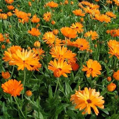 Sommige planten zijn handig om naast je groenten en fruit te houden. Ze helpen je oogst...