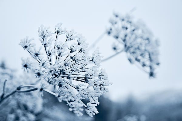 A kiss from the Ice Fairy and Queen Anne has frozen. A blue dream in the winter land. Bloom and beauty for eternity.  Copyright: Cristina Velina