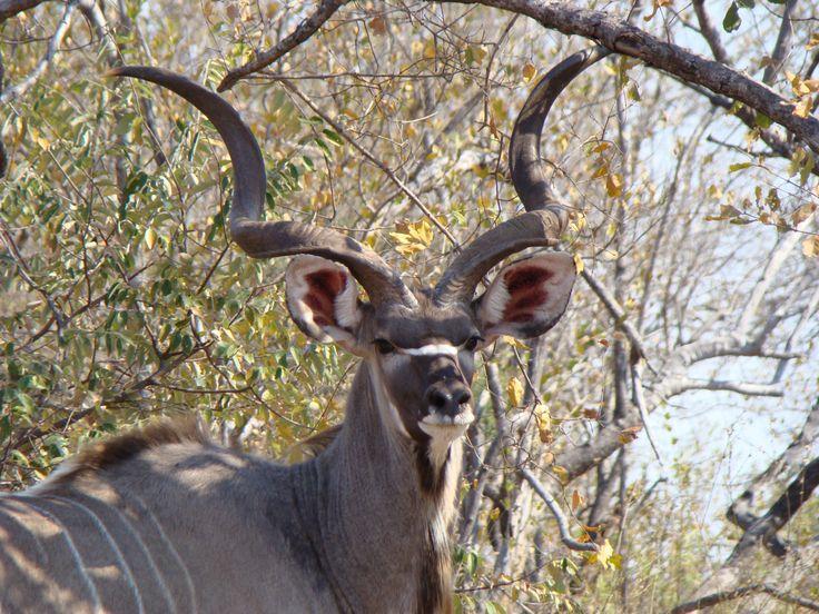 The gracious kudu