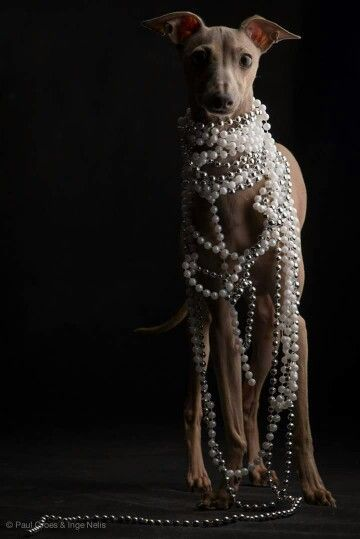 Whippet - Photographer: Paul Croes                                                                                                                                                                                 More