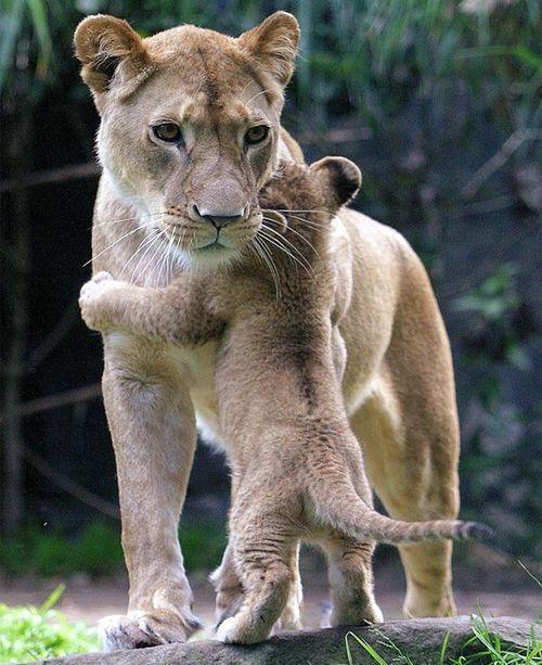 Momma and baby Lions...sweet hug