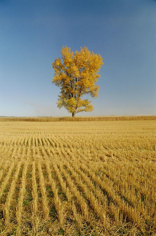 ✯ Cottonwood Tree In Grain Field