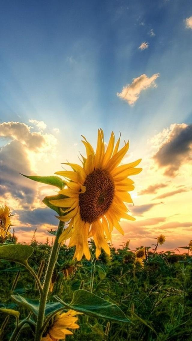 Sunflowers Field, Summer, light**.