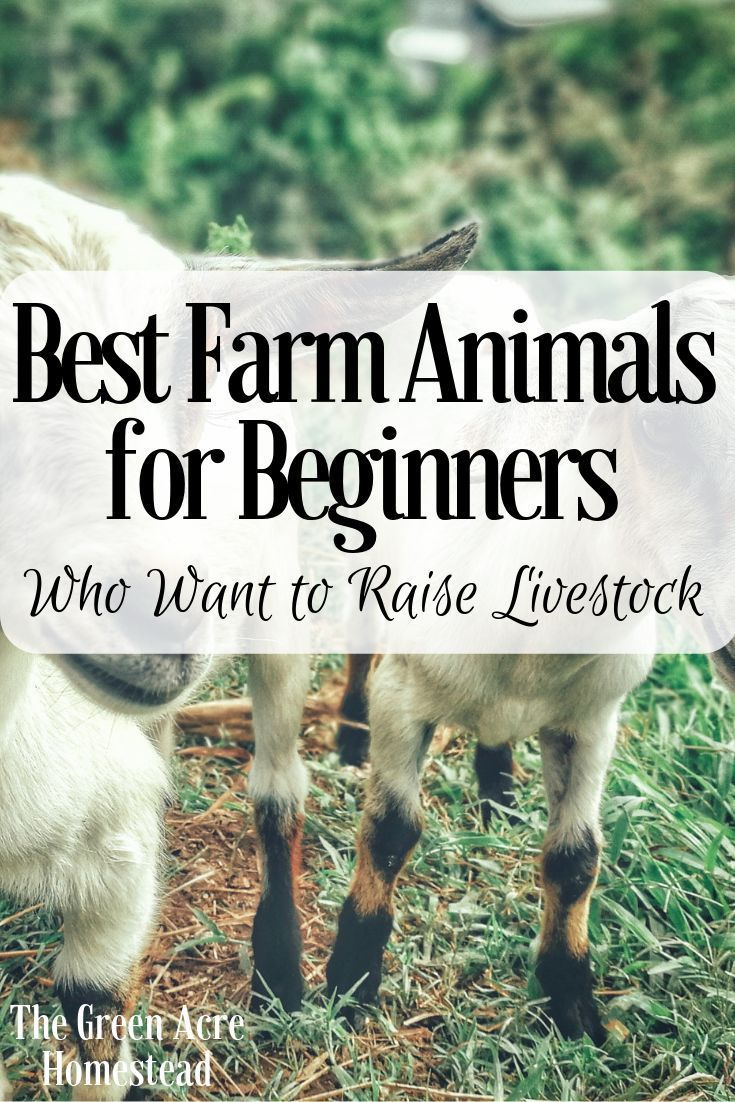 Best Farm Animals For Beginners Who Want To Raise Livestock With
