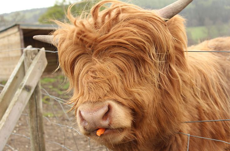 Animals With Majestic Hair----Mini Highland Cow. Who needs eyes with such beautiful hair? Is that a yummy carrot you've got there?