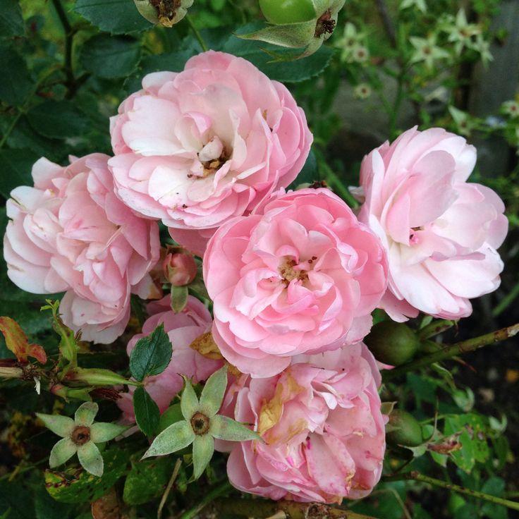 Rosor i örtagården
