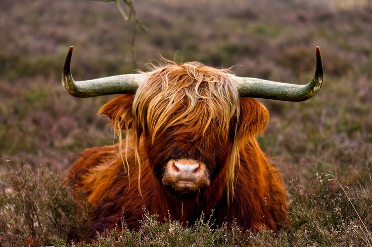 Highlands cow - my Daddy had one of these named Humphrey!