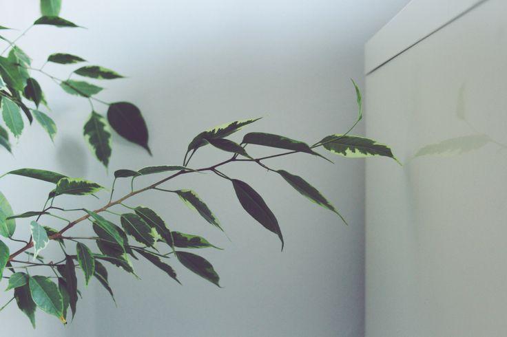De groene vriend die vandaag in de kijker staat, is een evergreen in vele huishoudens. Het is een plant die je tegenkomt in wachtkamers en bankkantoren, maar ook in de meeste kamers van mijn huis: …