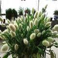50 seeds Bunny Tails Lagurus Ovatus A...