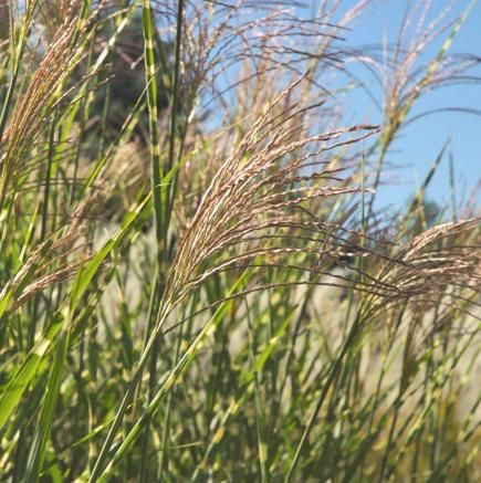 24 best images about garden ornamental grass on pinterest for Perennial grasses for sun