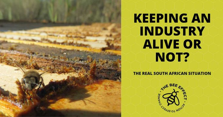 Honey bees – the Real South African Situation #BeeEffect, #Bees, #ColonyCollapseDisorder, #Honey, #HoneyBeeColony, #HoneyBees, #ImportedHoney #Pollination, #TheBeeEffect