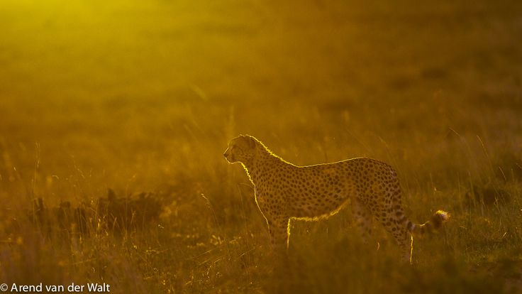 CHEETAH RIMLIGHT by Arend van der Walt on 500px